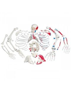Disarticulated Full Skeleton with Case