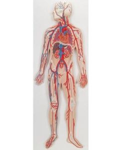 10-81-730 Circulatory System Model-Includes 3B Smart Anatomy