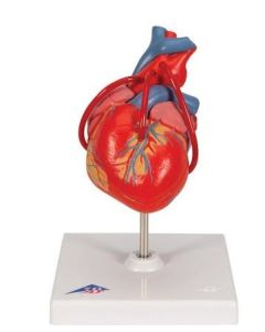 10-81-7837 Classic Human Heart Model with Bypass, 2 part includes 3B Smart Anatomy