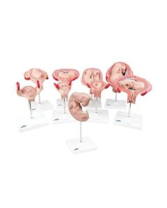 12-81-211 Deluxe Pregnancy Series - 9 Models -Includes 3B Smart Anatomy